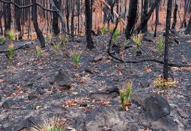 رشد در میان خاکستر | ظهور آثار حیات در جنگلهای سوخته استرالیا