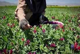 صادرات  ۴۵۰ میلیون دلاری گیاهان دارویی