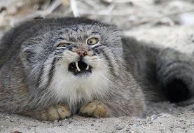 هر آنچه باید درباره گربه پالاس بدانید/ گربهای منزوی و در خطر انقراض