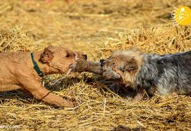 (تصاویر) سگها با کشتن ۷۰۰ موش صحرایی رکورد زدند!