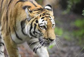 تایید تلف شدن یک ببر در باغ وحش صفادشت/علت مرگ نارسایی کلیوی