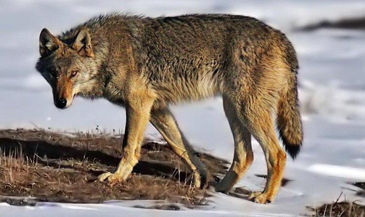 هشدار درباره افزایش احتمال نزدیکی جانوران وحشی به مناطق مسکونی