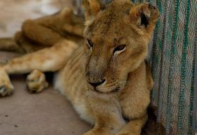 تصاویر هولناک از مرگ تدریجی شیرها از گرسنگی در باغ وحش!