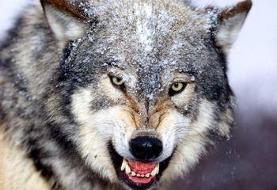 هر آنچه باید درباره گرگهای ایرانی و زیستگاهشان بدانید