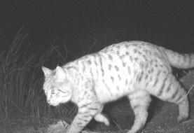 عکس | اولین مشاهده گربه وحشی در قزوین