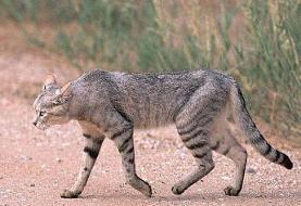 مشاهده گربه وحشی در منطقه حفاظت شده باشگل