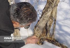 تکرار خاطره تلخ سرمازدگی در ساوه بعید است/باغداران نگران نباشند