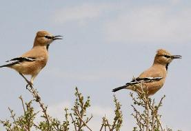 پرنده انحصاری ایران چه نام دارد/ زاغ بور، پرندهای به رنگ کویرهای ایران