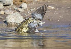 (عکس) لحظه شکار کبوتر توسط تمساح