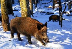 ۳۹ حیوان بر اثر تصادف در پارک ملی گلستان تلف شدند