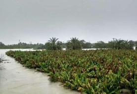 سیل ۷۰ درصد باغات موز جنوب سیستان وبلوچستان را تخریب کرده است