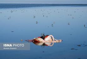 گمانهزنیها درباره علل مرگ پرندگان مهاجر میانکاله