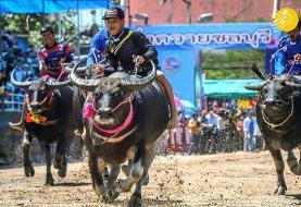 (تصاویر) مسابقات گاومیش سواری