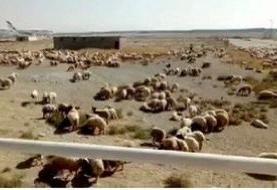 ویدئو | اتفاقی عجیب در فرودگاه امام | فرود اضطراری گوسفندان در فرودگاه امام خمینی(ره)
