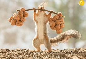 (تصاویر) سنجابِ وزنه بردار!