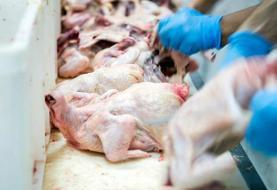 نرخ جدید مرغ اعلام شد؛ هر کیلو حدود ۲۰ هزار و ۵۰۰ تومان