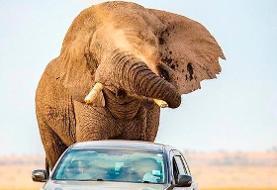 (تصاویر) فرار خودرو از حمله فیل در حیات وحش آفریقا