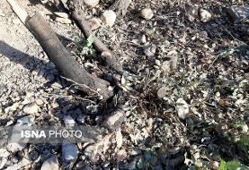 قطع ۱۱۰ درخت بلوط در یاسوج توسط زمین خواران+عکس