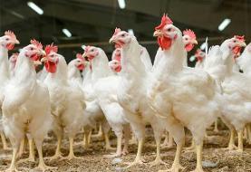 پر کشیدن مرغ از سفره مردم/ مرغهایی که خواب ارزن میبینند