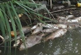 ماجرای تلف شدن ماهیان در رودخانه جره شیراز چیست؟