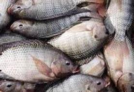 فیلم | صید اولین ماهیهای تیلاپیا