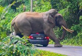 ببینید | شوخی پرهزینه فیل وحشی با سرنشینان یک خودرو