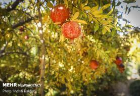 چقدر با خواص میوه بهشتی آشنا هستیم/تامین نیازهای بدن