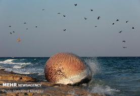اسکلت نهنگ دفن شده درساحل سیمرغ به موزه محیط زیست منتقل می شود