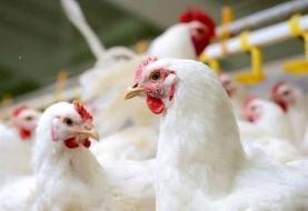 قیمت مرغ تا ۱۰ روز آینده کاهش می یابد