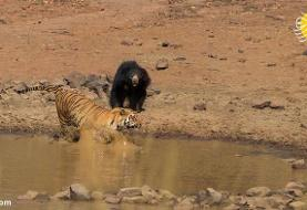 (ویدئو) درگیری ببر با خرس آدم کُش