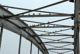 (تصاویر) پل سفید اهواز میزبان پرندگان مهاجر