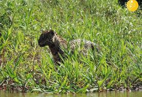 (تصاویر) جگوار؛ تمساح را در یک دقیقه شکار کرد