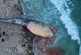 تصاویر | دومین لاشه نهنگ در آبهای ساحلی کیش