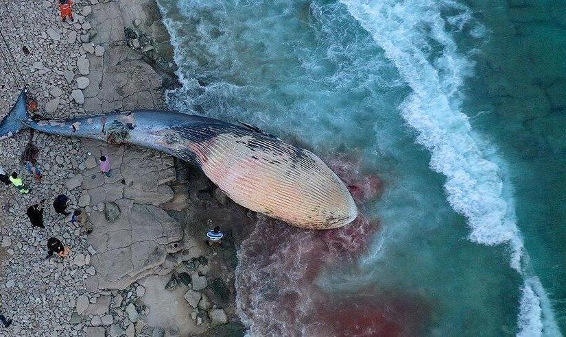 تصاویر   دومین لاشه نهنگ در آبهای ساحلی کیش