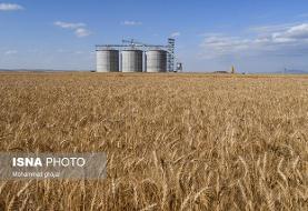 آخرین وضعیت کشت و تولید گندم برای سال آینده