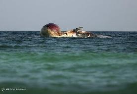 تصاویر | مرگ دومین نهنگ به گل نشسته در جزیره کیش