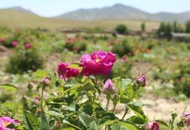 اختصاص ۴۴۸ هکتار از مزارع گیاهان دارویی قم به کشت گلمحمدی