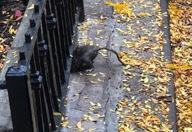 از دستاوردهای قرنطینه: ظهور موشهای عظیمالجثه و خطرناک! | موشها همدیگر را میخورند و هوشمندتر ...