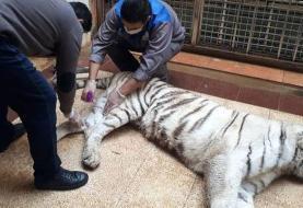 ببر نر در باغوحش ارم در تهران یک ماده ببر را کشت