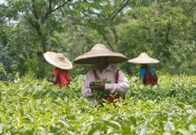 افزایش ۷۴ درصدی صادرات چای هند به ایران