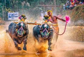 سریعتر از یوسین بولت؟ | رکورد دوی صد متر با کمک دو بوفالو در هند شکسته شد