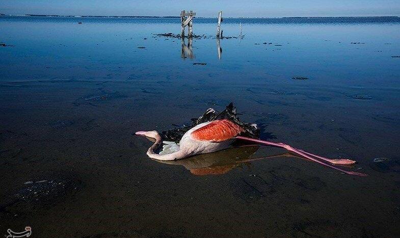 باز هم دروغ و لاپوشانی! کارشناسان محیط زیست: علت مرگ پرندگان میانکاله را لاپوشانی کردهاند؛ شیوه دفن هم فاجعه بود