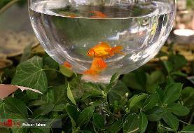 ماهی قرمز، عامل انتقال کرونا؟!