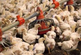 عرضه مرغ ارزان ۱۱ هزار تومانی در خاش آغاز شد