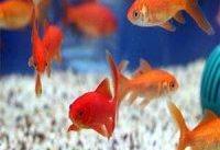 راست و دروغ ابتلا به کرونا با خرید ماهی قرمز