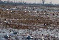 شمار تلفات پرندگان مهاجر در سواحل بندرترکمن به ۸۰۰ قطعه رسید