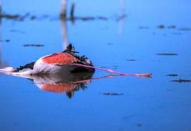 آخرین جزئیات مرگ و میر پرندگان در میانکاله/هشدار به مردم درباره لاشه ...