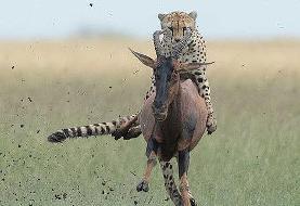 تصاویر سواری گرفتن یوزپلنگ از آنتلوپ!