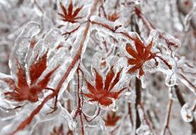 سرمازدگی و یخزدگی | کشاورزان مراقب باشند