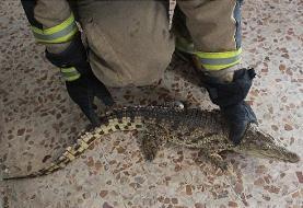 کشف یک تمساح در تهران
